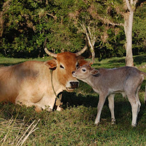 Cow and calf by Joko Pix - Animals Other ( animals )