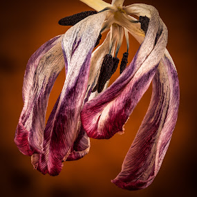 Wilted tulip by Hans-Börje Jansson - Flowers Single Flower ( plant, macro, tulip, flower, wilted, close-up )