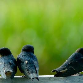 Swallows by Rebecca Bradford - Novices Only Wildlife ( bird, swallow, swallowtail )