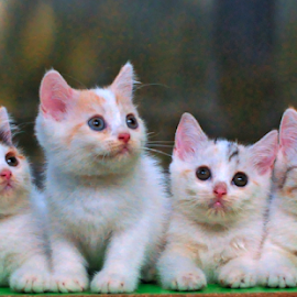 by Cacang Effendi - Animals - Cats Kittens ( cats, cattery, kitten, animals, chandra )
