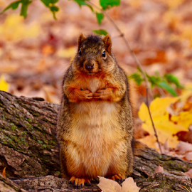 Cute Indiana Squirrel  by Brock Willis - Animals Other Mammals ( love, cool, indiana, nature, fall, like, cute, pretty, squirrel, animal )