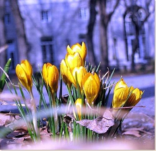 NYbloominginspring_sakura_flowersA