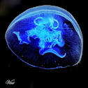 Moon Jellyfish Or Saucer Jelly