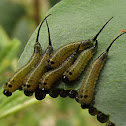 Long tailed sawfly (larvae)