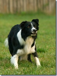 hellhound- border collie -dreamstime_4723225