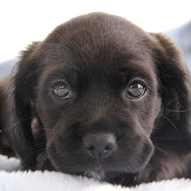 Introducing Cinder.. 6 wks old. by Dawn Henderson - Animals - Dogs Puppies (  )