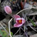 Salmon Sun-orchid