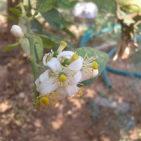 lemon tree blossoms by Dinesh Kumar - Flowers Tree Blossoms ( tree blossoms, single shot, flowers, lemon, lemon tree flower,  )