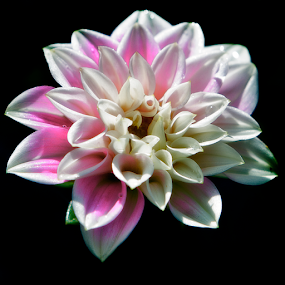 Emerging dahlia hybrid by Peter Greenhalgh - Flowers Single Flower ( white, pink, hybrid, dahlia, flower )