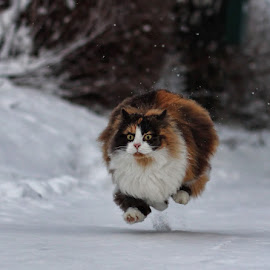 Just like a cannonball! :) by Jane Bjerkli - Animals - Cats Portraits (  )