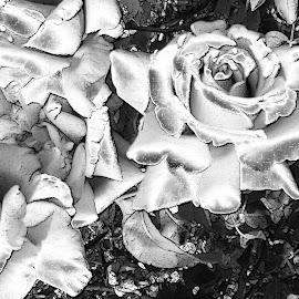 Roses in SIlver by B l  Beirne - Digital Art Things ( b/w, silvery roses, roses, flowers, full bloom )