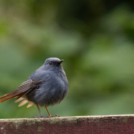 plumbeous water redstar by Sisnarf RN - Animals Other (  )
