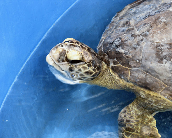an introduction to the nature of sea turtles Turtle egg harvest  playa ostional olive ridley sea turtles heading  it's reasonable to estimate that since the introduction of the legal harvest more.
