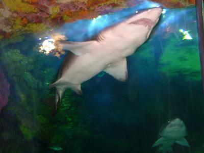 상어(shark) - 샌디에고 씨월드(Seaworld - San diego) [상어,shark,샌디에고,씨월드,수족관,수중생물,테마파크,san diego,seaworld,theme park]