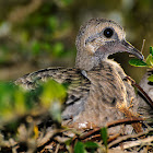 Eurasion Collared Dove (juvenile)