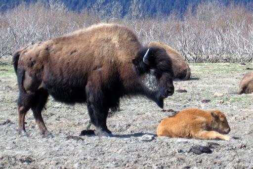 Wood Bison & Calf