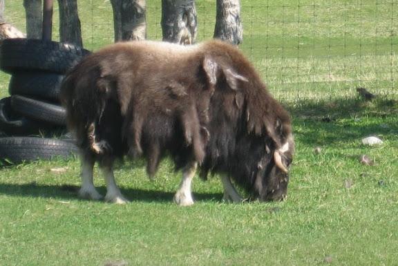 Palmer Musk Ox Farm
