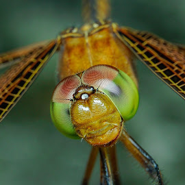 Dragonfly by Muhd Shahjeehan - Animals Insects & Spiders
