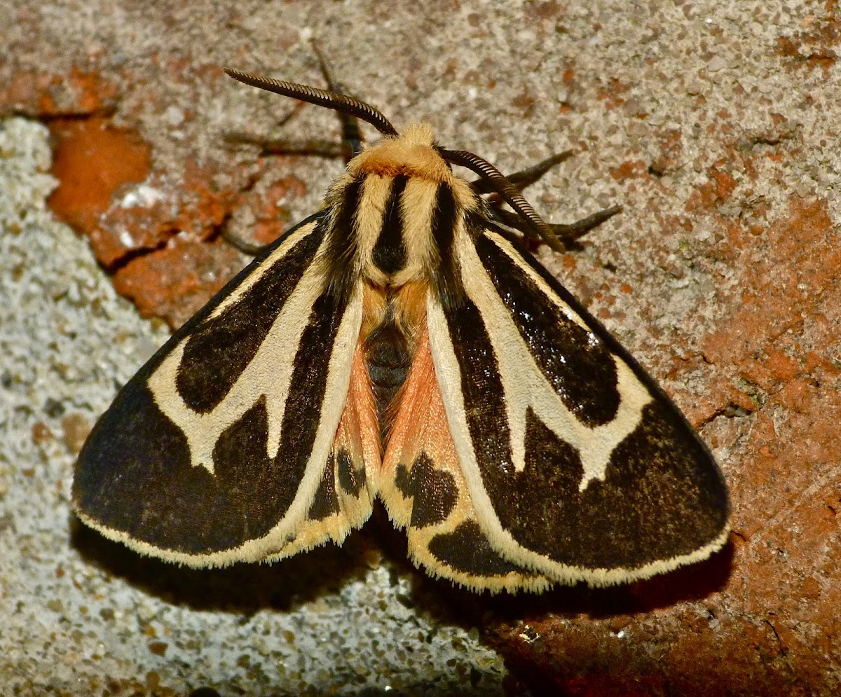 Banded tiger moth (male)
