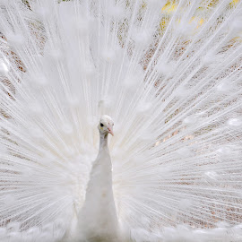 White Peacock by Dawn Hoehn Hagler - Animals Birds ( bird, zoo, reid park zoo, tucson, white, peacock, white peacock,  )