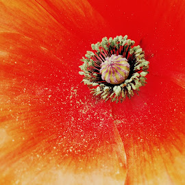 Poppies for Remembrance. by Nishita Sudhir - Novices Only Flowers & Plants
