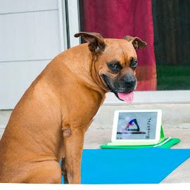 Yoga Dog by Johanna O'Leary - Animals - Dogs Playing ( fitness, boxer, dog, yoga, workout )