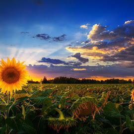 The Last of Us by Zsolt Zsigmond - Landscapes Sunsets & Sunrises ( clouds, sky, sunset, sunflowers, sunrays )