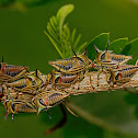 Thorn Treehopper Mother & Nymphs