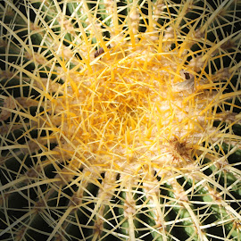 Galaxy of Cactus by Ted and Nicole Lincoln - Nature Up Close Other plants ( cactus art, beautiful, cactus photo, nature close up, cactus flower, yellow, nature photo, nature art, nature, desert cactus, desert plants, nature up close, cactus photography, beautiful photography, cactus )