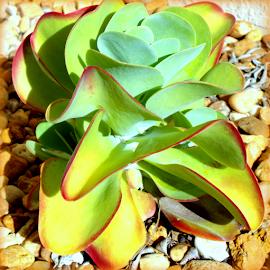 Succulent Garden by Elfie Back - Nature Up Close Other plants ( cacti, desert plants, succulents,  )