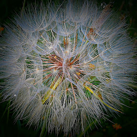 For A Sweet Dream Ready by Marija Jilek - Nature Up Close Other plants ( nature, goat-beard, plants, seeds, night, sweet dream )