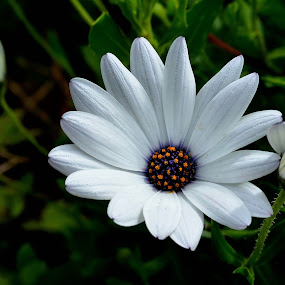 Pure white by Fernanda Magalhaes - Flowers Flowers in the Wild ( pure, nature, white, daisy, close up, flower,  )