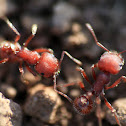 Western harvester ants