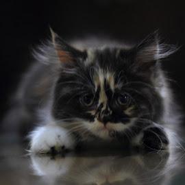 A cat called Lemon by Seno Hardijanto - Animals - Cats Kittens ( mirror, kitten, camera facing, brown hair, cute )
