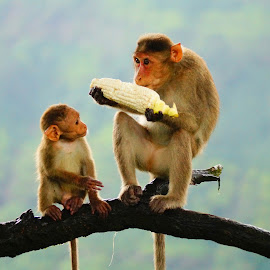 by Mj Vaidya - Animals Other ( love, corns, nature, monkeys, beautiful, eating )