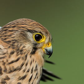 Kestrel female, close up  by Øyvind Håvarstein-Hustoft - Animals Birds
