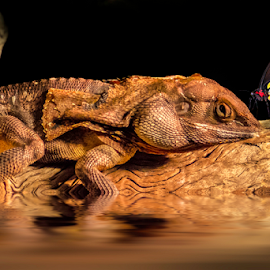 Frilled neck lizard and butterfly by Craig Eccles - Animals Reptiles ( butterfly, lizard, zoo, frilled neck lizard, log )