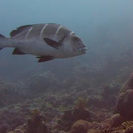 Whitebarred Sweetlips by DJ Cockburn - Animals Fish ( indian ocean, whitebarred rubberlip, coral, zanzibar, reef, plectorhincus playfairi, underwater, fish, whitebarred sweetlips, mafia, tanzania )