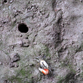 welcome to my hole by Didi Sunardi - Animals Amphibians ( animals, amphibian, crab, hole )