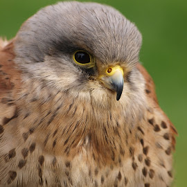 Kes 2 by Garry Chisholm - Animals Birds ( garry chisholm, falcon, raptor, prey, kestrel )