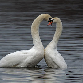 Swan by Bob Rawlinson - Animals Birds ( fish farm )