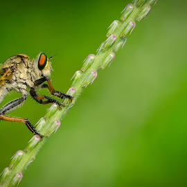 Flo-Robb by Eddy Sutirto - Animals Insects & Spiders ( macro, grass, fly, insect, robber )