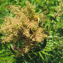 Prairie Sumac berries     immature