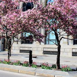 Downtown Montreal Cherry Trees by Ronnie Caplan - City,  Street & Park  Street Scenes ( montreal, building, colorful, street, windows, island, cherry, girl, trunks, trees, flowers, branches, downtown, grates )