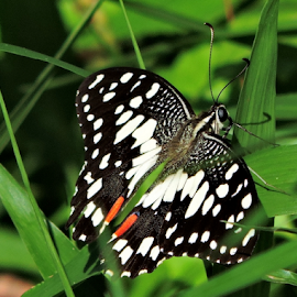 Lime butterfly by Yusop Sulaiman - Animals Insects & Spiders