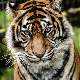 Female Sumatran Tiger by Garry Chisholm - Animals Lions, Tigers & Big Cats ( garry chisholm, naturfe, predator, carnivore, tiger, wildlife )