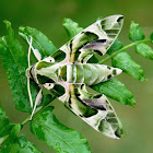 Oleander Hawk Moth (Male)