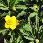 Buttercup Anemone
