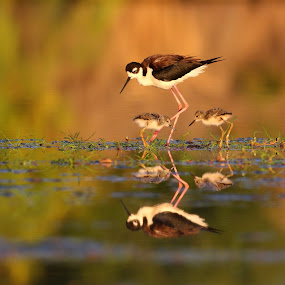 Mom and chicks by Ruth Jolly - Animals Birds ( black-necked-stilt, mom and baby, wildlife, shorebird, cute, birds, birding, bird, stilt, chick, nature, baby bird, animal,  )