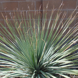 The Featthery Cactus by SHARON ARMIJO - Nature Up Close Other plants ( desert, plants, landscape, shrubs, cactus )